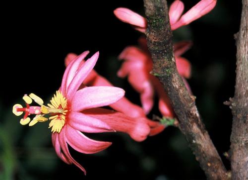 Ci Dessus Photo De Passiflora Amoena