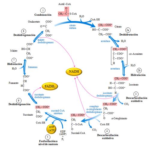 ciclos anabolicos para definicion muscular