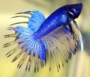 Betta Fish Information