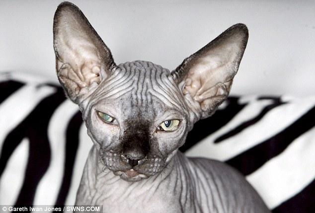http://2.bp.blogspot.com/_ZmdGtIR98JU/TBeIKK2wpxI/AAAAAAAACK0/UCANrJZ9ufI/s1600/kucing+sphynx1.jpg