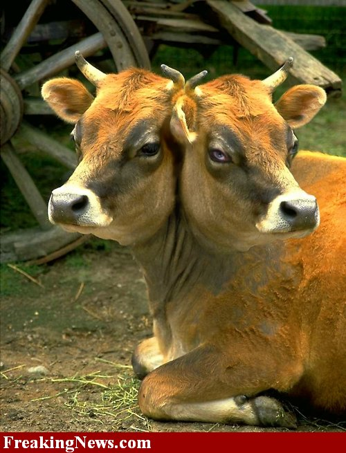 http://2.bp.blogspot.com/_ZoKQnx1PrNg/S8jAy9tQTFI/AAAAAAAAAEI/4aDStLYu94g/s1600/Two-Headed-Cow--22563.jpg