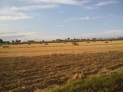 champs de blé et de mais
