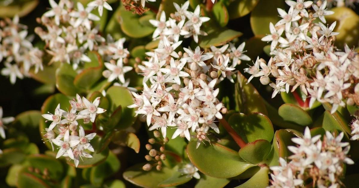 plantas beleza e diversidade plantas suculentas planta jade