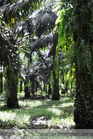 Oil palm plantation, a biofuel crops