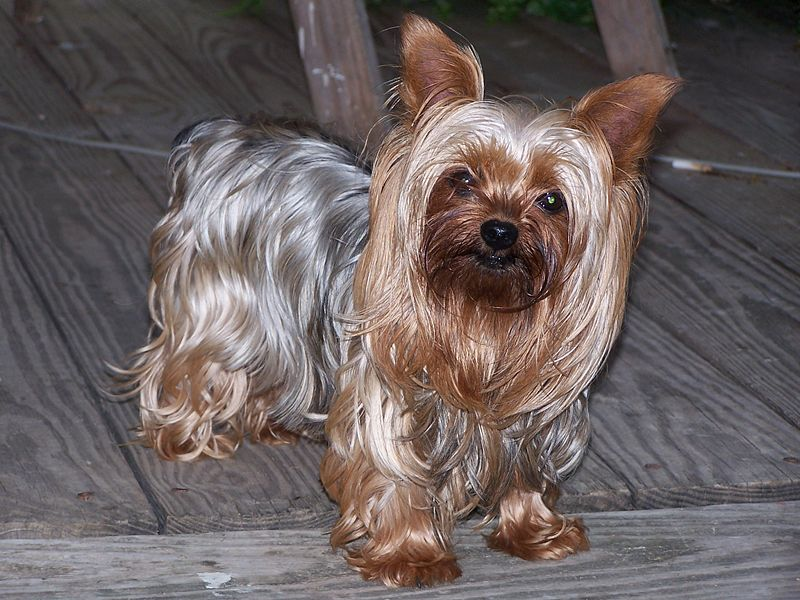 Yorkshire-Terrier Dog Lovers