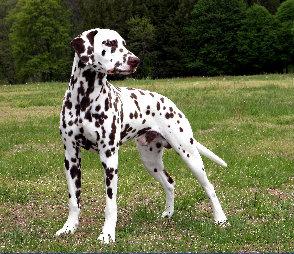 Dalmatian Dog Breed Price In India