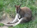 Wallaby in Deep Thought