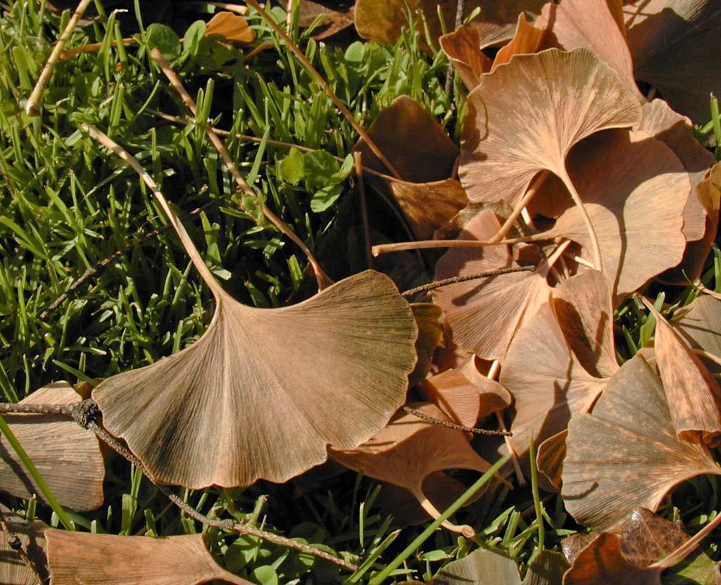 http://2.bp.blogspot.com/_ZueG3OvW8_k/TIv_1UY3jnI/AAAAAAAADXI/TYaxv0zmq9Y/s1600/Ginkgo_biloba_autumn_leaves.jpg
