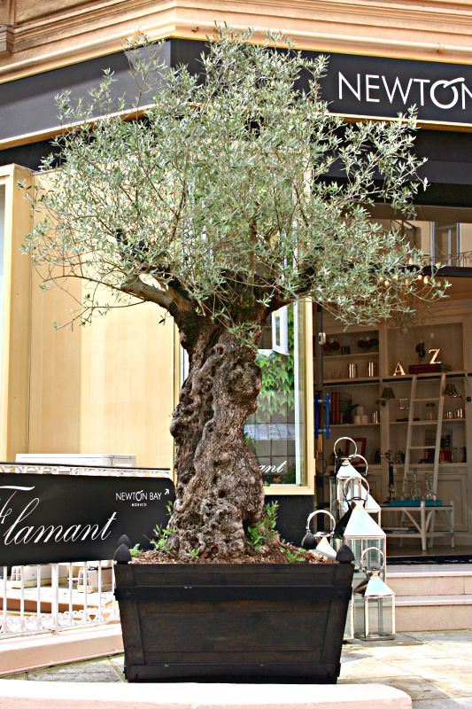 old olive tree in a pot