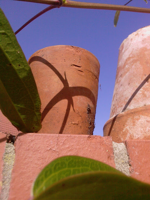 TERRACOTTA POTS WITH CLEMATIS SHADOWS