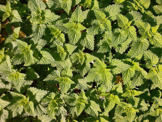 NEW NETTLES IN NOVEMBER