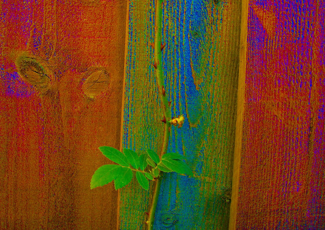 PLAYING WITH COLOUR  -  LEAF AND FENCE