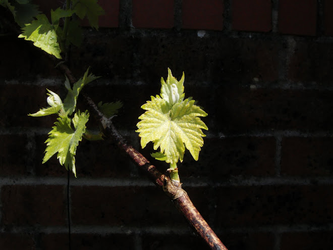 VINE LEAF IN FRONT OF A WALL