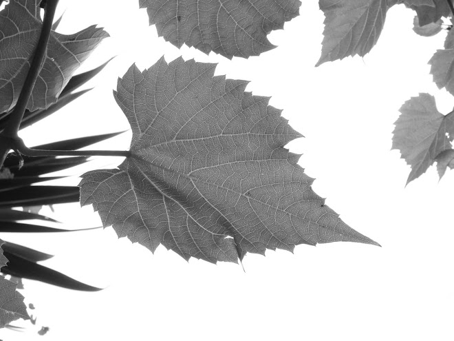 VINE LEAF IN BLACK AND WHITE
