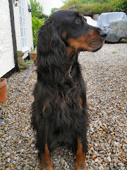 Poppy the Gordon Setter