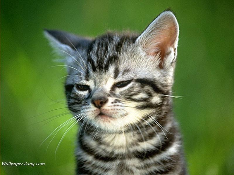wallpaper kucing lucu. Kumpulan Wallpaper Kucing Lucu