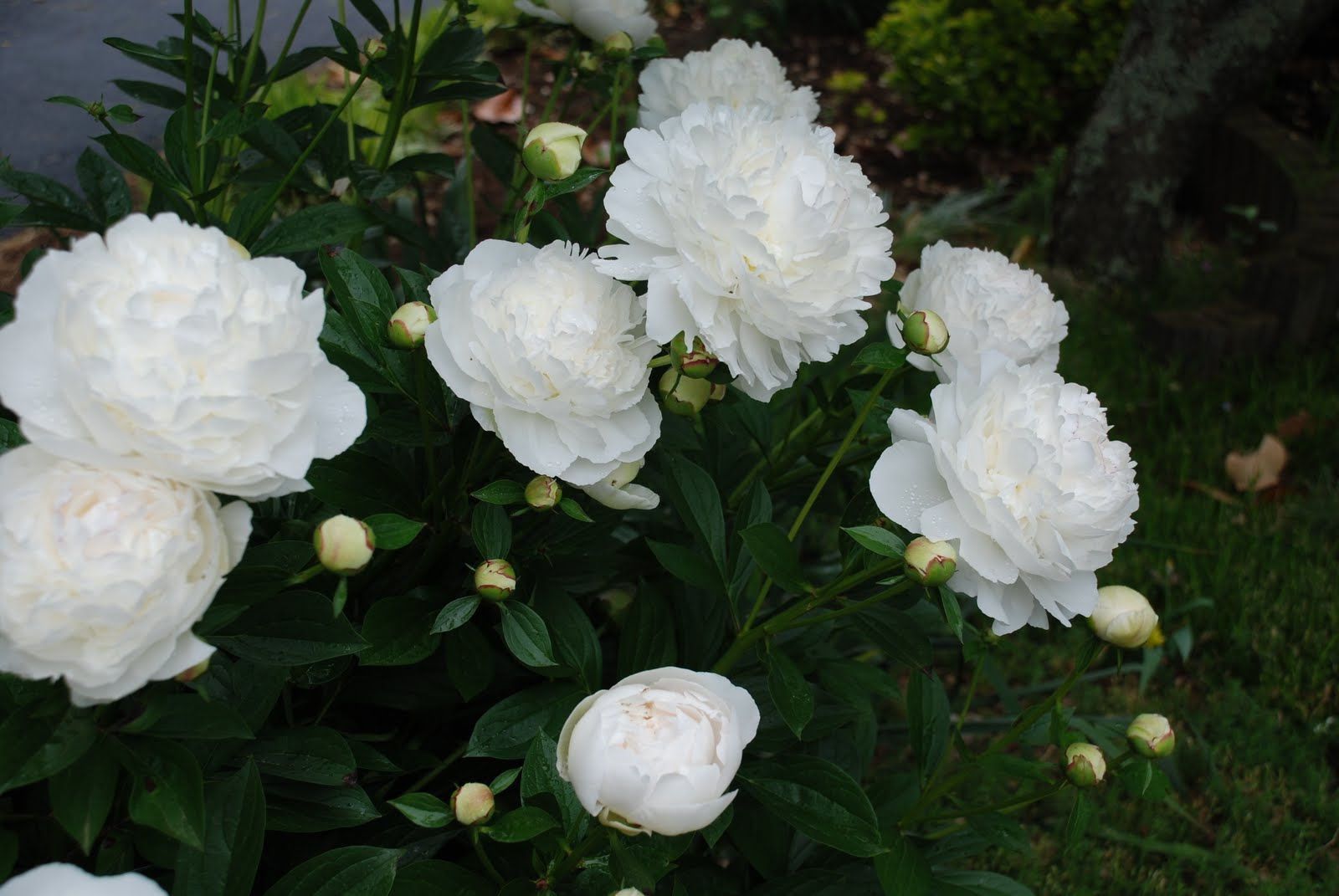 What grows there 2010 tips on planting peonies mightylinksfo