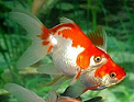healthy pet goldfish pair