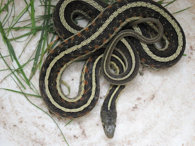 Garter Snake Bite Pictures To Pin On Pinterest Thepinsta