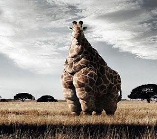 The World's Fattest Giraffe pic