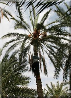 Recogida de dátiles de una palmera