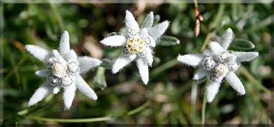 Edelweiss, flor de las Nieves o Leontopodium alpinum