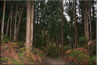 Caminando entre eucaliptos