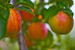 Manzanas Gala