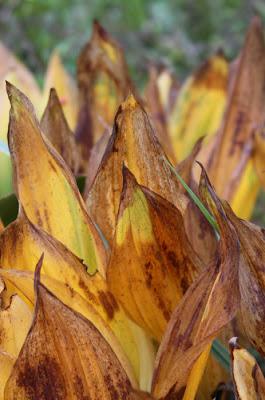 jesienne liście konwalii