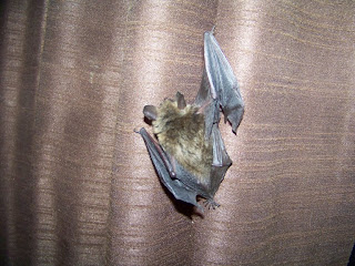 bat hanging on curtain