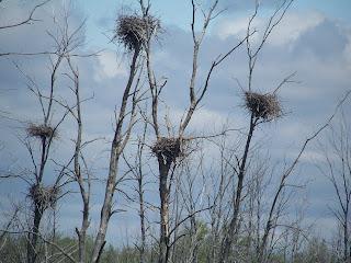 blue heron nests