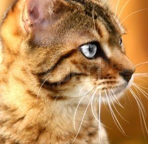 Silversun~Queen~She-Cat