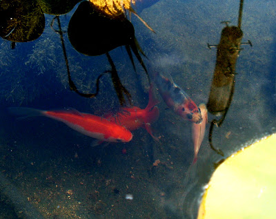 Just how clear is my pond water for Can fish see water