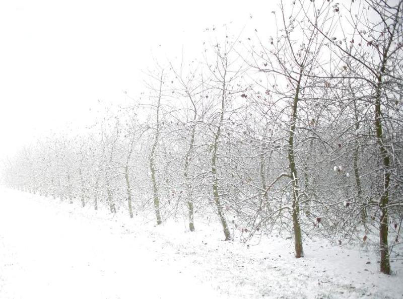 Karlı bir günde MM 106 elma bahçesi
