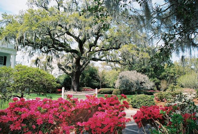 Orton Oak Tree