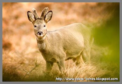 Bucks that don't grown antlers?