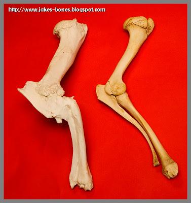 Strange bones #4 - the broken deer leg : Jake\'s Bones