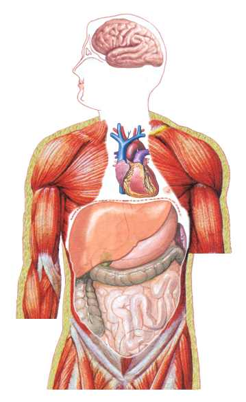 organ system  after our