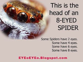 some spiders have eight eyes