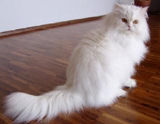 kucing persia himalaya ataupun angora memang sangat can