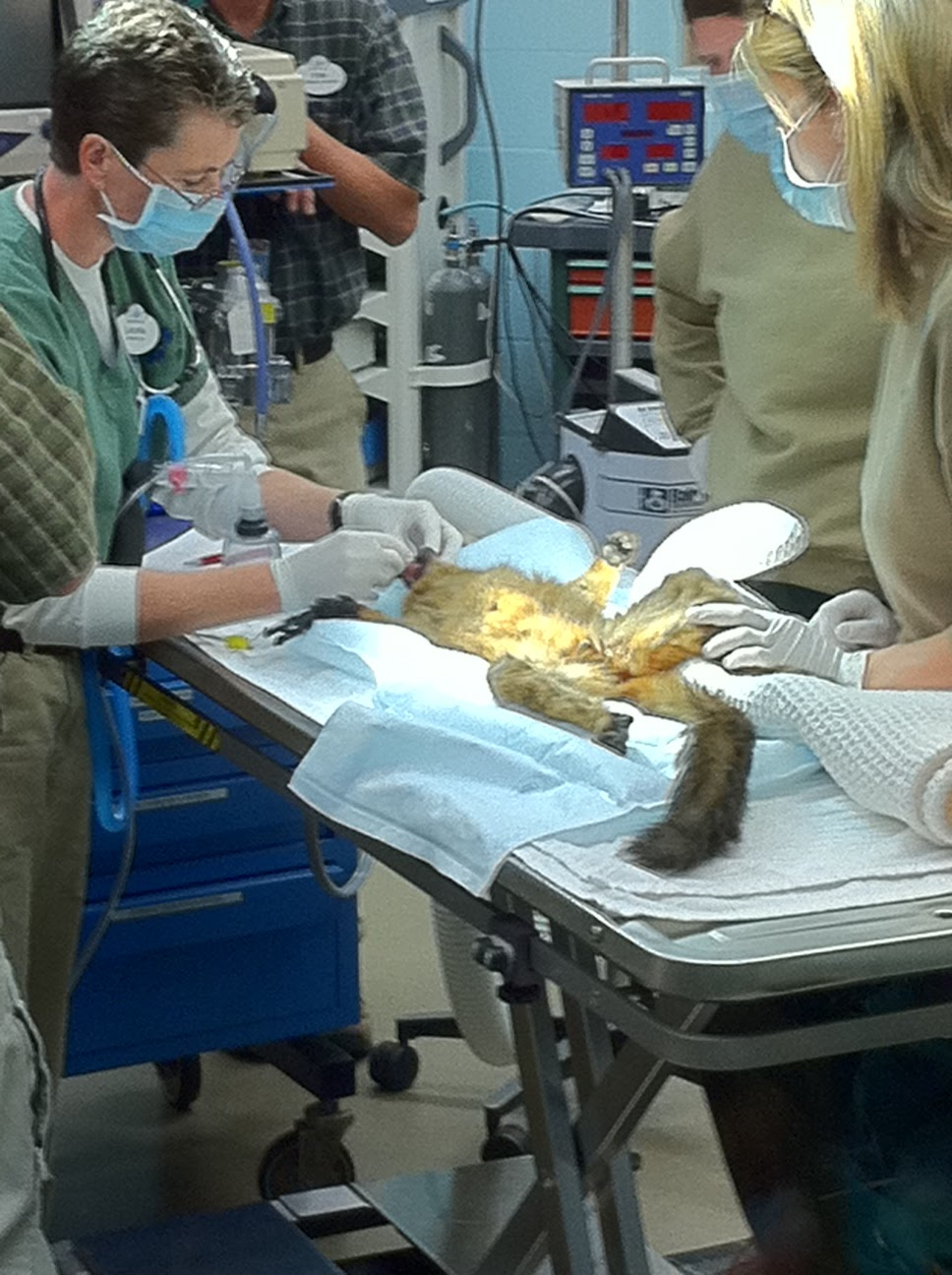 Animal-Kingdom-Vet-Hospital-Lemur-Physical-Exam