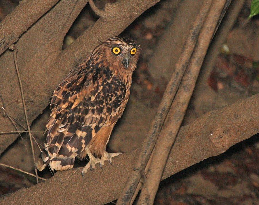 Strigformes: Famíla Strigidae- sub fam. Buteonidae. Género Ketupa (por vezes incluído em Bubo) Buffy+Fish-owl_Kinabatangan_280310_IMG_7150