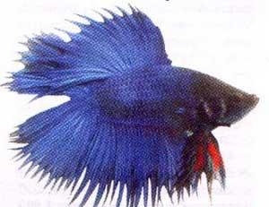 ikan ini dapat dijadikan ikan hias bahkan sabagai ajang