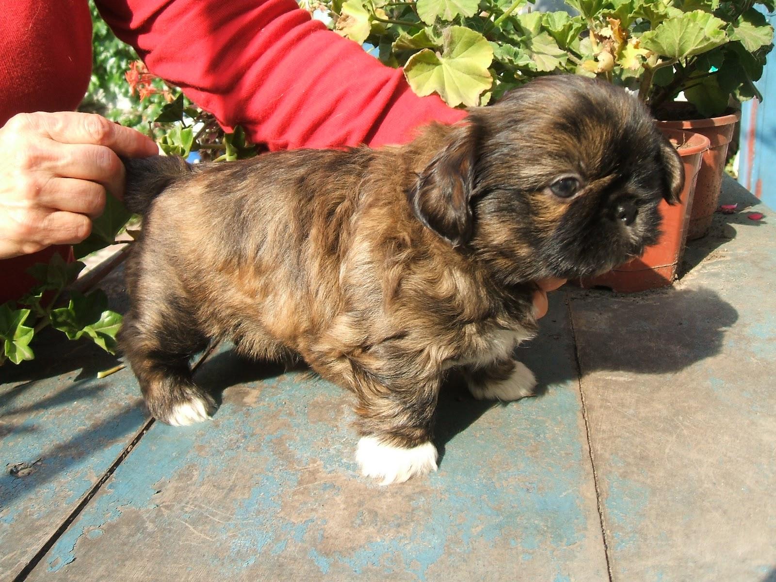 Blog de Perros Miniaturas: Como elegir un cachorro Shitzu