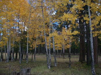 Golden trees in Northern Arizona