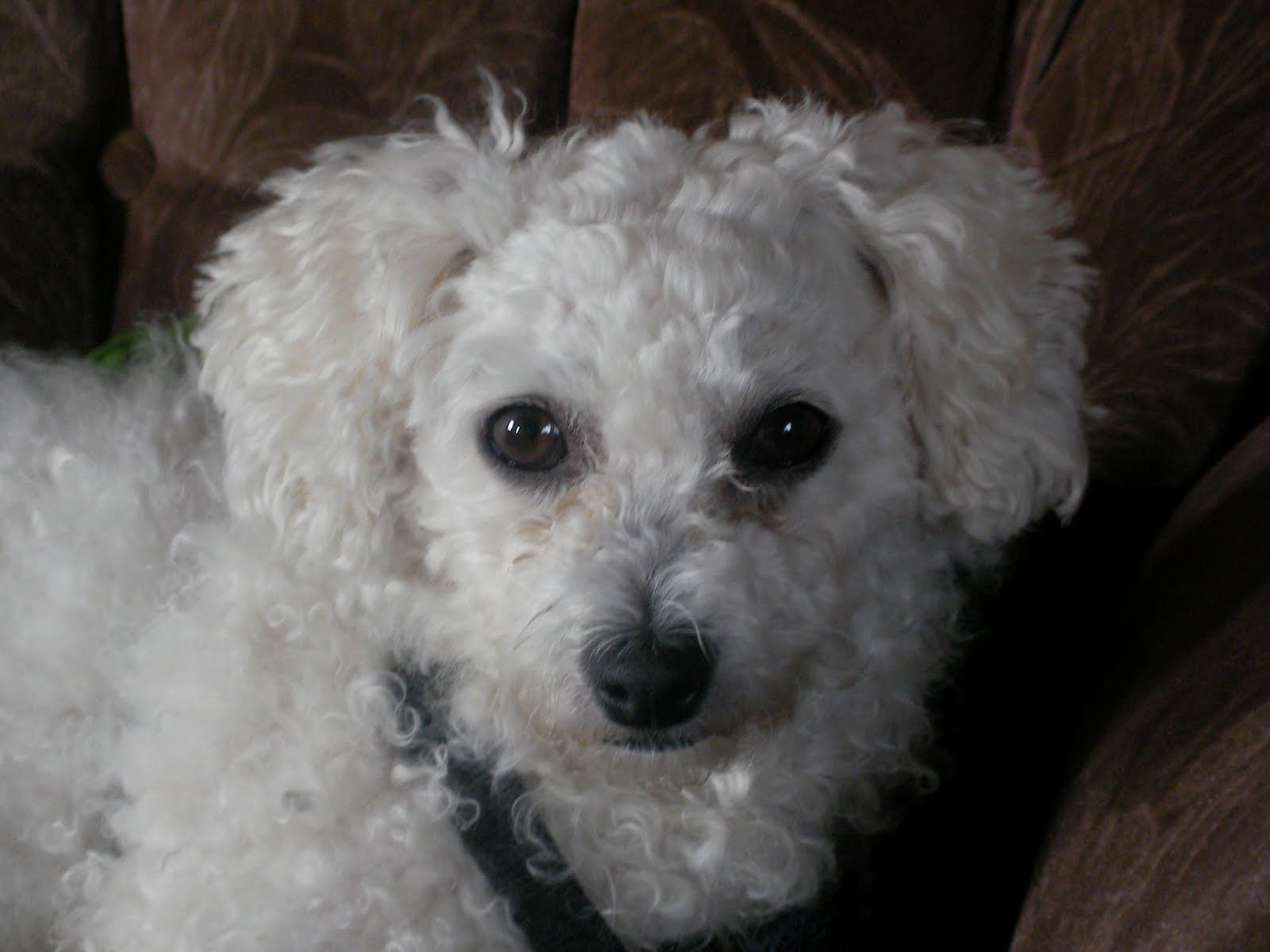 Sue the Bichon Frise