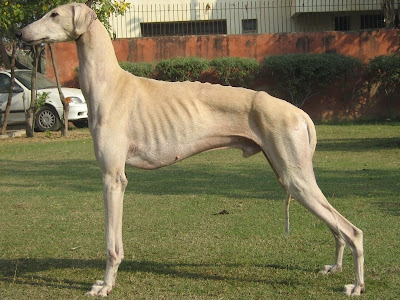 Mudhol Hound Hounds/mudhol hounds and