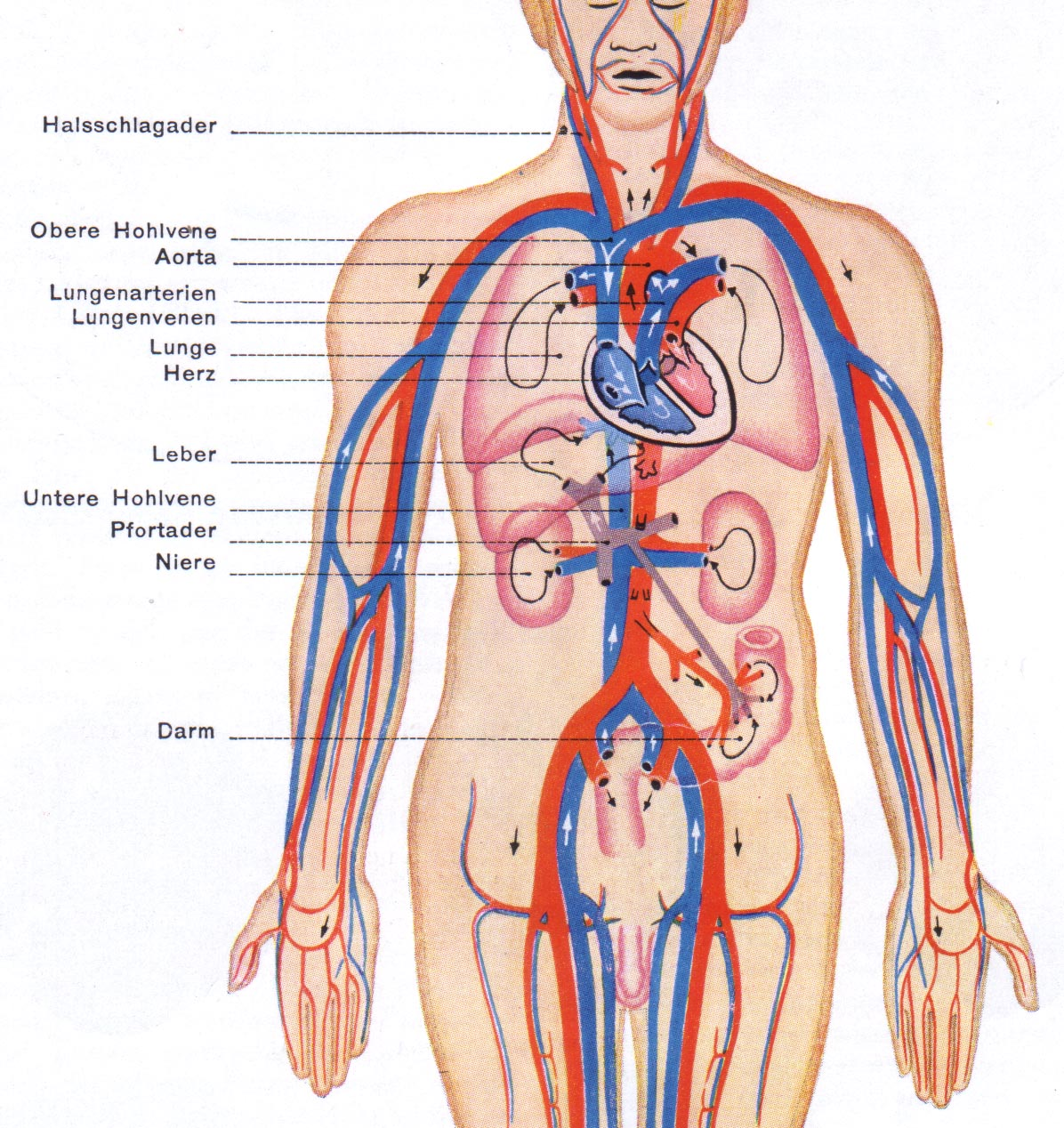 How Does Blood Circulation Occur Biology Life Processes