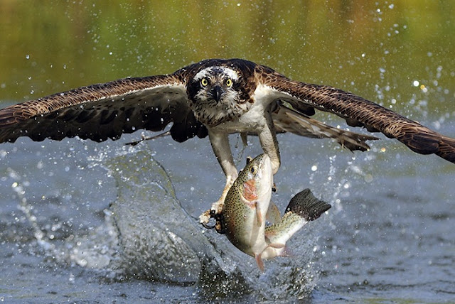 Bird is taking fish from water and flying