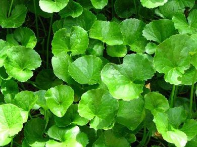 khasiat daun pegaga